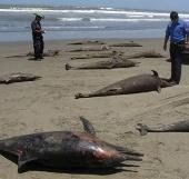 Video: Cảnh tượng thống kê xác động vật trên bờ biển Peru