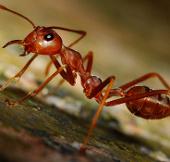 """Video: """"Bão"""" kiến lửa khiến muôn loài bạt vía"""