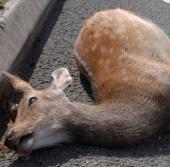 Dân Mỹ được ăn thịt nếu động vật bị xe cán chết