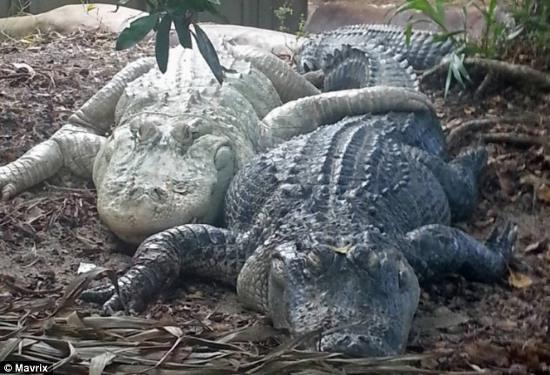 """""""Cậu nhỏ"""" của cá sấu đực dài khoảng 7cm, màu trắng, luôn sẵn sàng """"chiến đấu"""" bằng cách bật nảy ra ngoài qua lỗ bài tiết."""