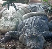 """Dương vật cá sấu luôn sẵn sàng """"lâm trận"""""""