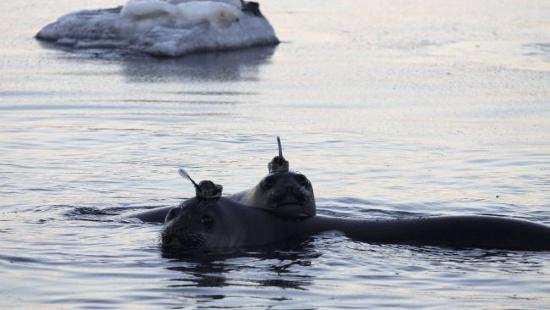 Những chú hải cẩu voi được gắn con dấu cảm ứng trên đầu