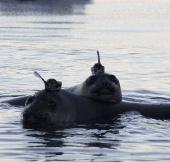 Hải cẩu voi giúp nghiên cứu đáy Nam cực