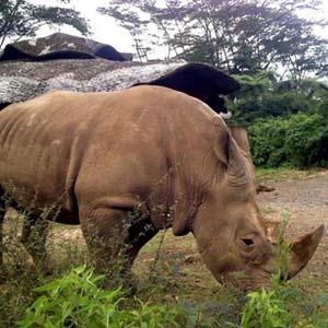 Phát hiện tê giác Java vẫn đang sinh sản