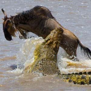 Linh dương nhảy ngoạn mục thoát hàm cá sấu