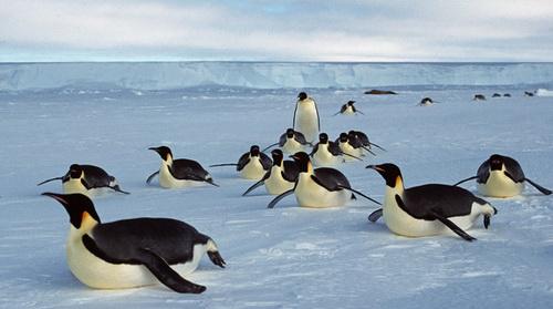 Chim cánh cụt đảo Hoàng Đế biến mất