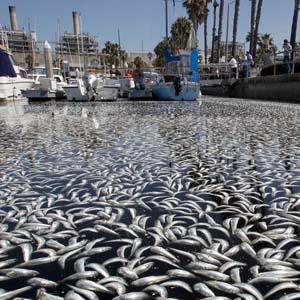 Hàng triệu cá chết tại bến cảng Mỹ
