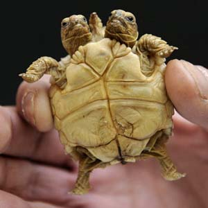 Chiêm ngưỡng con rùa có... 2 đầu