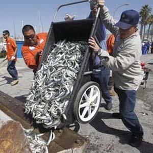 Bí ẩn hàng triệu con cá chết đồng loạt