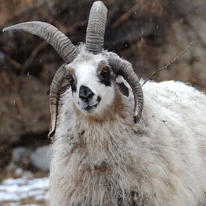 Cừu bốn sừng