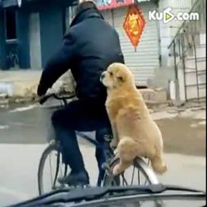 Video: Chó ngồi vững sau xe đạp