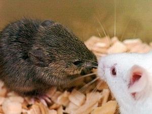 Loài chuột kêu để thu hút bạn tình là do bẩm sinh