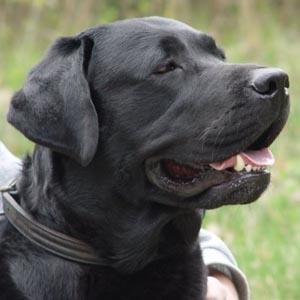 Dạy chó phát hiện ung thư