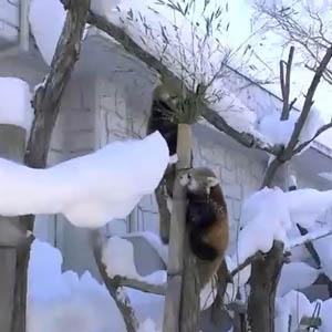 Video: Gấu trúc đỏ nghịch tuyết