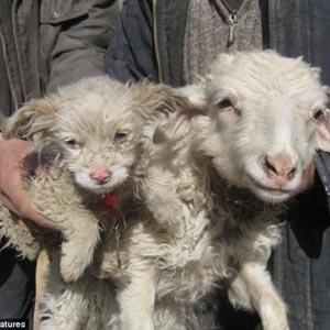 """Chuyện lạ: Cừu sinh ra """"chó"""""""