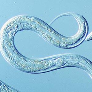 Giun tròn C. elegans giúp giảm bệnh béo phì ở người