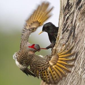 Chim sáo đá túm mỏ kẻ thù đuổi ra khỏi tổ