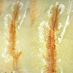 Hóa thạch sinh vật biển nguyên vẹn sau 525 triệu năm