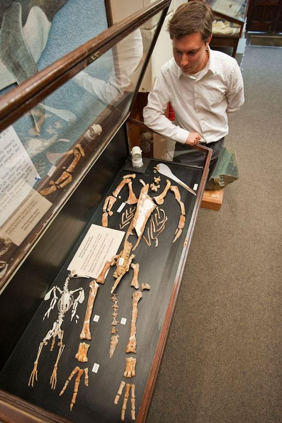 Nhà khoa học Dan Ksepka đứng bên cạnh mẫu bộ xương của loài chim cánh cụt Kairuku (phải) đã tuyệt chủng và bộ xương của loài chim cánh cụt nhỏ nhất thế giới ngày nay Eudyptula minor - cũng được tìm thấy tại New Zealand