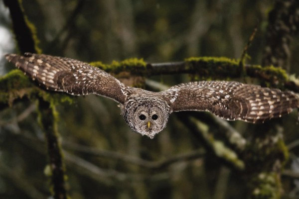 Cú lông sọc cũng có bộ lông màu nâu và sọc ở ngực, song không có đốm. Chiều dài cơ thể cú lông sọc từ 40 tới 63cm, còn trọng lượng từ 500 tới hơn 1.000g.