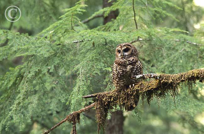 Loài cú lông đốm có mắt đen, lông màu sẫm với những đốm trắng trên đầu và cổ, những vằn trứng ở ngực.