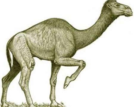 Lạc đà có mõm dài giống cá sấu