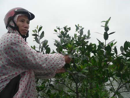 Cây bần chua giảm thiên tai, giúp dân tăng thu nhập