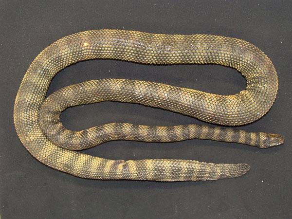 Phát hiện loài rắn biển cực độc mới