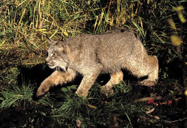 Chó sói giúp bảo vệ loài mèo rừng bị đe dọa