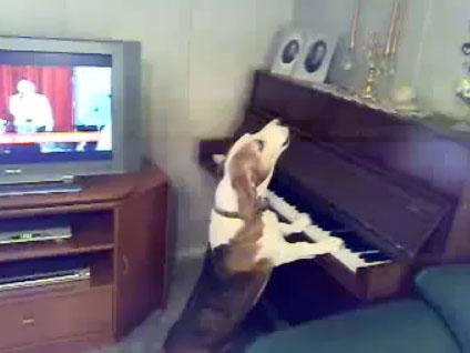 Video: Chó chơi đàn và hát