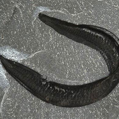 Tổ tiên loài người là... lươn?