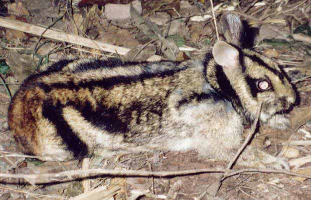 Thỏ vằn quý hiếm sắp tuyệt chủng