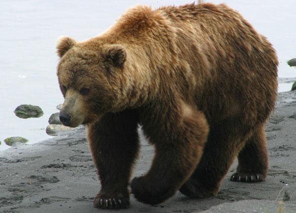 Gấu nâu tại Áo lần thứ hai bị tuyên bố tuyệt chủng