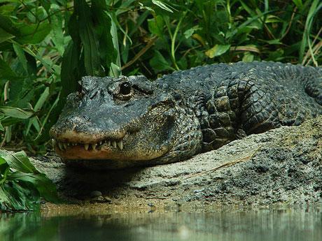 """Gõ trống để cổ vũ cá sấu làm """"chuyện ấy"""""""