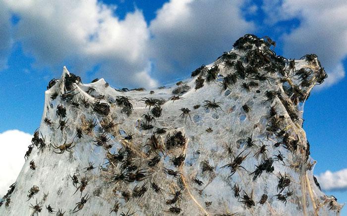 Ảnh đẹp: Hàng ngàn con nhện trốn lũ ở Australia