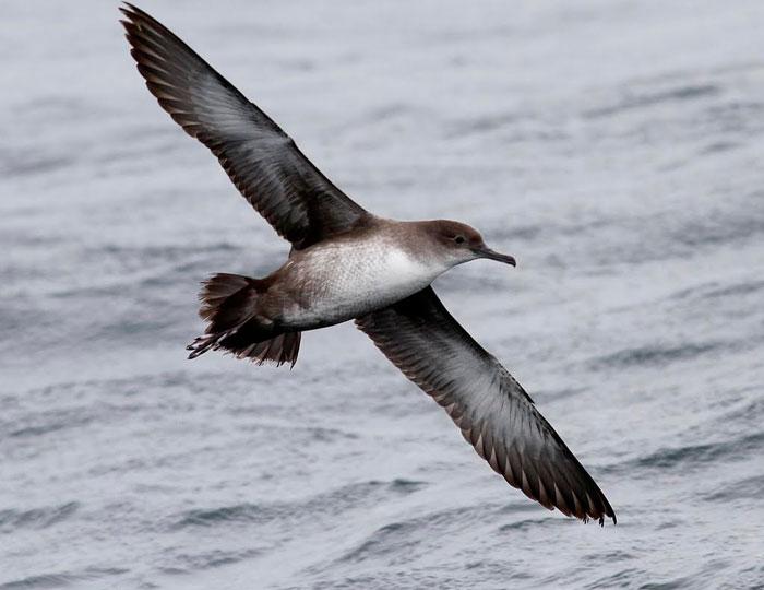 Hải âu Balearic, một trong những loài chim biển đang có nguy cơ tuyệt chủng