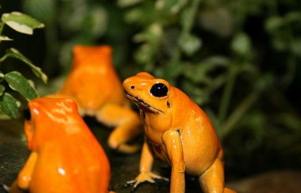 Lập khu bảo tồn cho loài ếch độc nhất hành tinh