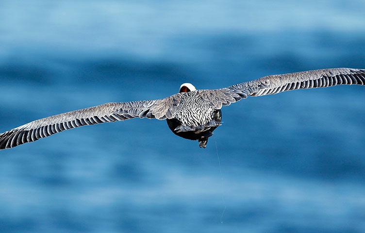 Bồ nông nâu săn cá dọc bờ biển ở La Jolla, California, Mỹ. Theo báo cáo của Liên minh Bảo tồn Thiên nhiên Quốc tế (IUCN), số lượng của các loài chim biển suy giảm nghiêm trọng trong vài thập kỷ gần đây.