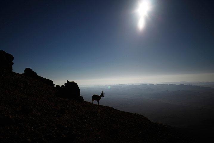 Một chú dê núi đứng trên vách núi trong nắng sớm ở sa mạc Negev, Israel.