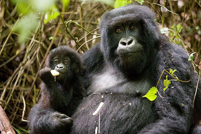 Hai mẹ con khỉ đột ở Parc des Volcans, Rwanda.