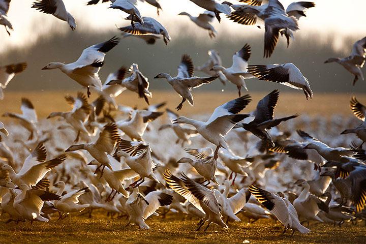 Đàn ngỗng tuyết gồm 30.000 con cất cánh khỏi khu bảo tồn Middle Creek ở Kleinfeltersville, Pennsylvania, Mỹ. Đàn ngỗng tuyết dừng chân ở khu vực này trong khi di cư sang Canada để bắt đầu mùa sinh sản.