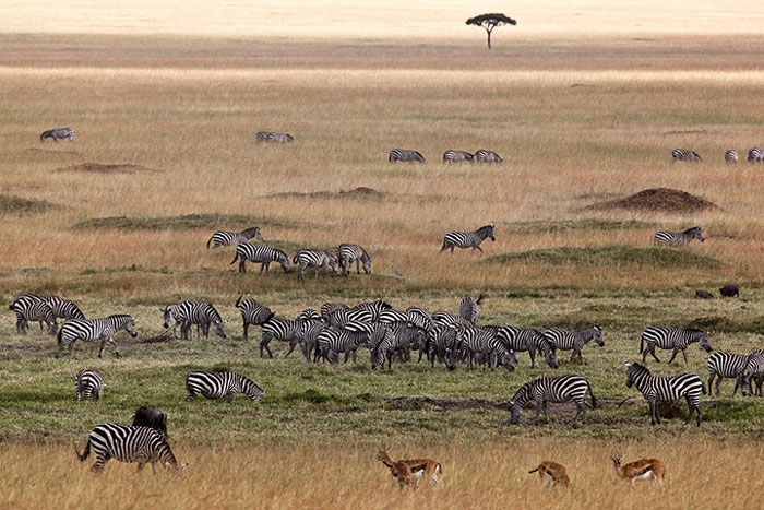 Ngựa vằn và linh dương gazen gặm cỏ trong khu bảo tồn quốc gia Maasai Mara ở Kenya.