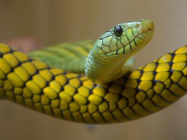 Phụ nữ đang mang thai rất giỏi việc phát hiện rắn
