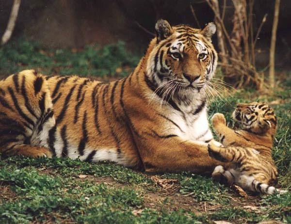 Giống hổ Amur