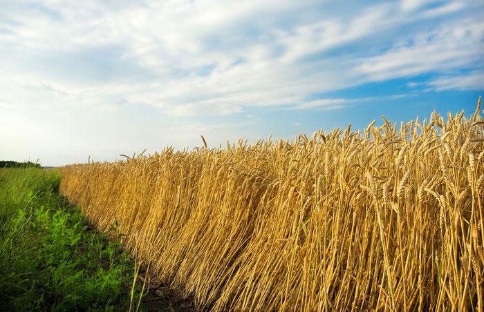 """Lúa mì """"mặn"""" sẽ giải quyết khủng hoảng thức ăn?"""
