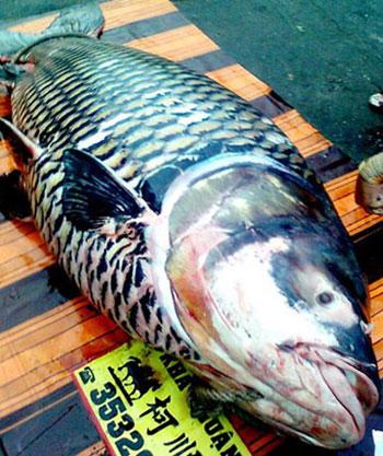 Cá hô 120kg được thương lái An Giang bán cho nhà hàng giá 216 triệu cách nay nửa tháng.