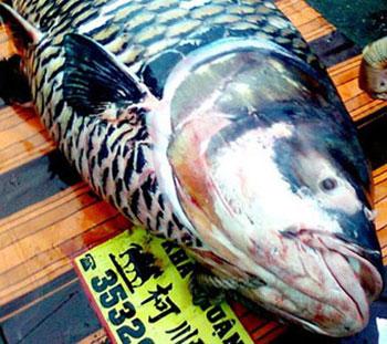 Cá hô khổng lồ sa lưới ngư dân