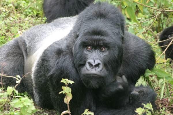 Nhiều gene của con người giống gene của khỉ đột