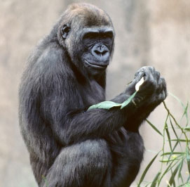 Giải mã bộ gene khỉ đột