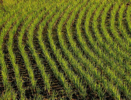 Hải Dương mở rộng diện tích giống lúa kháng rầy
